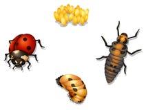 De cyclus van het lieveheersbeestjeleven Stock Foto