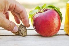 De cyclus van het perzikleven met de hand van de landbouwer stock afbeelding