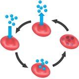 De Cyclus van het zuurstofvervoer Royalty-vrije Stock Afbeeldingen