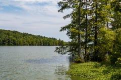 De Cypress calvo de los árboles orilla cerca del lago achaparrado imágenes de archivo libres de regalías