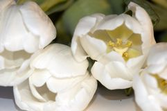 De dag van de witte tulpenmoeder Royalty-vrije Stock Foto's