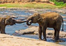 De dag van Valentine, het Kussen olifanten en het spelen in rivier, Sri-Lan Stock Fotografie