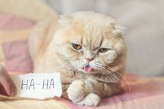 De Dagconcept van April Fools 'met grappig humeurig Schots kat en document blad met HAHA 1 April, Alle Dwazen 'Dag, humeur, stree stock fotografie