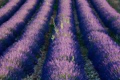 De dageraad van de lavendel Royalty-vrije Stock Foto