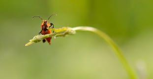 De dageraad van Dictyoptera Royalty-vrije Stock Afbeelding