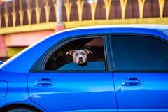De dagtocht van honden stock foto's
