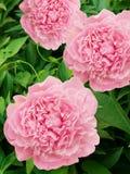De dahlia's van bloemen Royalty-vrije Stock Foto