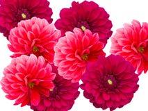 De dahlia's van bloemen Stock Afbeelding