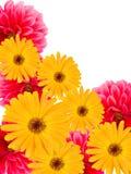 De dahlia's van bloemen en camomiles Stock Foto's