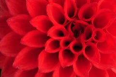De dahlia, sluit omhoog Royalty-vrije Stock Afbeelding