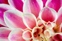 De dahlia van bloemblaadjes royalty-vrije stock foto's