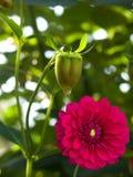 De dahlia van de bloem stock foto
