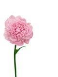 De dahlia van de bloem Royalty-vrije Stock Afbeeldingen
