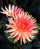 De Dahlia van de cactus Stock Afbeeldingen