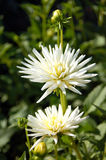 De Dahlia van de cactus Royalty-vrije Stock Afbeelding