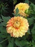 De Dahlia van meerontario met schrijft heldere gele bladeren als krottengebied af Royalty-vrije Stock Fotografie