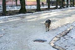 De dakloze atray hond loopt op straat Verlaten dieren en overladen schuilplaatsen De hopeloze hond zoekt voedsel royalty-vrije stock afbeeldingen