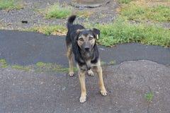 De dakloze hond met een gele markering kijkt met hoop Royalty-vrije Stock Foto's