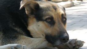De dakloze mooie grote hond ligt op een stadsstraat stock videobeelden