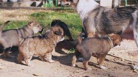 De dakloze puppy eten, borst feedingr stock footage