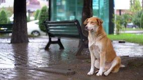 De dakloze Rode Hond zit op een Stadsstraat in Regen tegen de Achtergrond van het Overgaan van Auto's en Mensen stock videobeelden