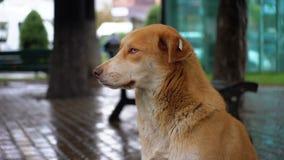 De dakloze Rode Hond zit op een Stadsstraat in Regen tegen de Achtergrond van het Overgaan van Auto's en Mensen stock footage