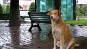 De dakloze Rode Hond zit op een Stadsstraat in Regen tegen de Achtergrond van het Overgaan van Auto's en Mensen stock video
