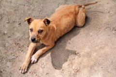 De daklozen dwaalden linker geel puppy op straat/Slechte kant van de weg en eenzame droevige verdwaalde hond af en kijken vooruit Royalty-vrije Stock Foto