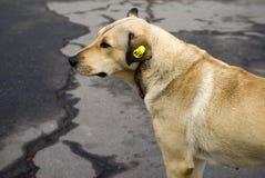 De daklozen dwalen hond af Stock Foto's