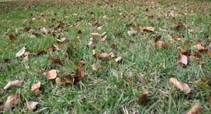 De dalende bladeren in het gras Stock Foto