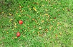 De daling van de betelpalm neer op groen gras Stock Foto