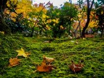 De daling van esdoornbladeren op de bemoste grond stock afbeelding