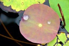 de daling van het lotusbloemblad stock afbeeldingen