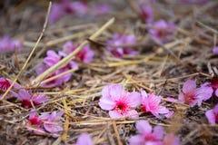 De daling van kersenbloesems ter plaatse Royalty-vrije Stock Foto's