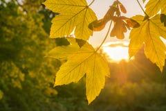 De daling verlaat dicht omhooggaande en gouden zon Royalty-vrije Stock Afbeeldingen