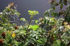 De dalingen van dauw op bladeren van wildernis namen toe Royalty-vrije Stock Afbeelding