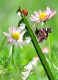 De dalingen van de dauw met vlinder en lieveheersbeestje Stock Afbeeldingen