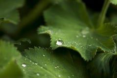 De dalingen van de dauw op bladeren Royalty-vrije Stock Afbeeldingen