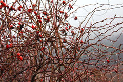 De Dalingen van de de lenteregen op Rose Hip Bush royalty-vrije stock foto's