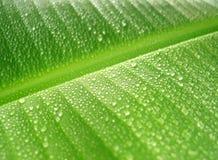 De dalingen van de regen op banaanblad Stock Fotografie