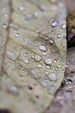 De dalingen van de regen op bladeren Stock Foto's