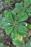 De dalingen van de regen op groene bladeren Stock Fotografie