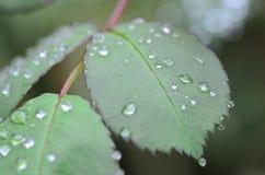 De dalingen van de regen op groene bladeren Royalty-vrije Stock Afbeeldingen