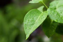 De dalingen van de regen op groene bladeren Stock Afbeelding