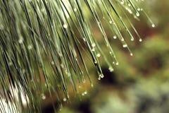 De dalingen van de regen op pijnboomnaalden Stock Fotografie