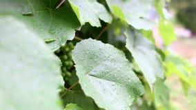 De dalingen van een regen druipen volgens een groen blad van druiven op de straat Bewolkt Weer stock footage