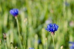 De dalingen van het dauwwater bij de bloei van de korenbloem bluet bloem Stock Foto