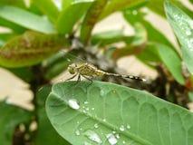 De dalingen van het libel drinkwater op groene bladeren Royalty-vrije Stock Afbeelding