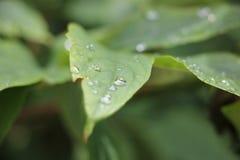 De dalingen van het water op blad Stock Afbeeldingen