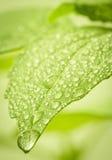 De dalingen van het water op blad. stock afbeeldingen